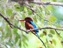 White - throated Kingfisher, Halcyon smyrnensis fusca. It is sitting on a branch above the lake Stock Photography