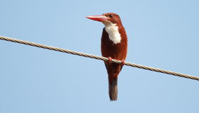 White-throated kingfisher(Halcyon smyrnensis). Sitting Royalty Free Stock Photo