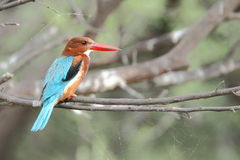 White-throated kingfisher(Halcyon smyrnensis). Sitting Royalty Free Stock Images