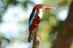 White-throated kingfisher(Halcyon smyrnensis). Sitting on a wire Stock Photos