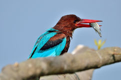 White-throated Kingfisher (Halcyon smyrnensis). A White-throated Kingfisher with a success in its beak enjoying its feast after the hunting session right in Stock Photos