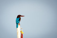 The white-throated kingfisher (Halcyon smyrnensis)/ the white-br. Easted kingfisher / Smyrna kingfisher, is a tree kingfisher Royalty Free Stock Photography
