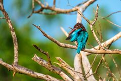 White-throated kingfisher or Halcyon smyrnensis. In wild nature Royalty Free Stock Image