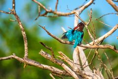 White-throated kingfisher or Halcyon smyrnensis. In wild nature Stock Photos