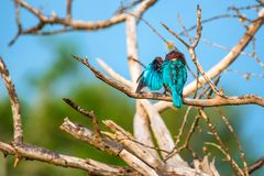 White-throated kingfisher or Halcyon smyrnensis. In wild nature Royalty Free Stock Images