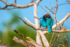 White-throated kingfisher or Halcyon smyrnensis. In wild nature Stock Images