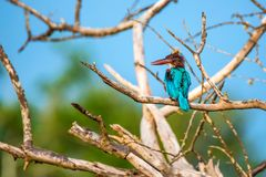 White-throated kingfisher or Halcyon smyrnensis. In wild nature Royalty Free Stock Photos