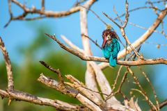 White-throated kingfisher or Halcyon smyrnensis. In wild nature Stock Photography