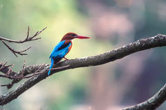 White-throated kingfisher or Halcyon smyrnensis Stock Photos
