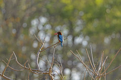 White-Throated Kingfisher in India Stock Photo