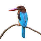White-throated Kingfisher isolated. Beautiful Kingfisher blue bird, White-throated Kingfisher (Halcyon smyrnensis), standing on a branch, isolated on white Royalty Free Stock Photography