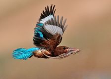 White Throated Kingfisher with lizard. Flying White Throated Kingfisher with lizard Royalty Free Stock Images