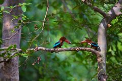 White throated Kingfisher pair, Halcyon smyrnensis, Panna Tiger Reserve. Madhya Pradesh Royalty Free Stock Photos