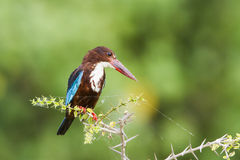 White-throated kingfisher in Pottuvil, Sri Lanka Royalty Free Stock Images