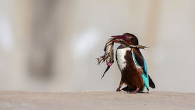 White-throated Kingfisher with Prey Royalty Free Stock Photos