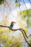 White throated kingfisher restin on a branch with a bright, warm Royalty Free Stock Images