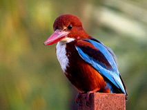 White throated Kingfisher royalty free stock image