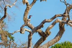 White-throated Kingfisher sitting on tree. Against blue sky, Yala National Park, Sri Lanka Stock Photo