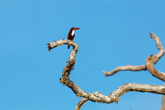 White-throated Kingfisher sitting on tree Royalty Free Stock Photo