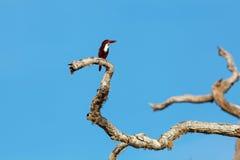 White-throated Kingfisher sitting on tree. Against blue sky, Yala National Park, Sri Lanka royalty free stock photo