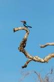White-throated Kingfisher sitting on tree. Against blue sky, Yala National Park, Sri Lanka Royalty Free Stock Images