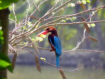 White-throated Kingfisher Royalty Free Stock Images