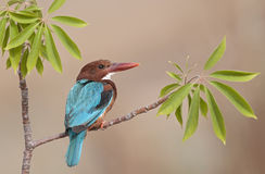 White Throated Kingfisher Stock Image