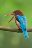 White-throated Kingfisher Stock Photo