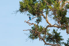 White-throated Kingfisher on tree. White-throated Kingfisher sitting on tree against blue sky, Yala National Park, Sri Lanka stock photo