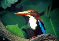 White-throated Kingfisher Stock Image