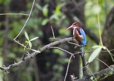 White-throated Kingfisher Royalty Free Stock Photos