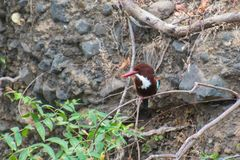 White throated Kingfisher royalty free stock images