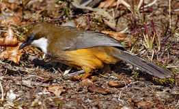 White-throated Laughing Thrush bird. In the field Royalty Free Stock Images