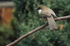 White-throated laughingthrush Stock Image