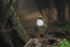 White-throated laughingthrush Stock Images