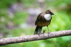 WHITE-THROATED LAUGHINGTHRUSH arkivfoton
