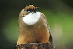 White-throated laughingthrush Royalty Free Stock Photos