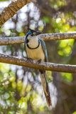 White-throated magpie-jay, bird. White-throated magpie-jay, Calocitta formosa, exotic bird perched on a branch in Costa Rica royalty free stock image