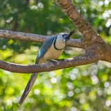 White-throated magpie-jay, bird. White-throated magpie-jay, Calocitta formosa, exotic bird perched on a branch in Costa Rica stock photography