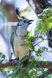 White-throated magpie jay Calocitta formosa Stock Images