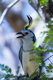 White-throated magpie jay Calocitta formosa Royalty Free Stock Image
