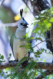 White-throated magpie jay Calocitta formosa Royalty Free Stock Photography