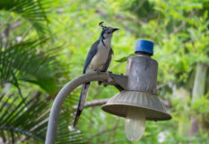 White-throated magpie-jay Stock Image