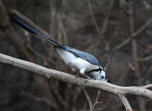 White-throated magpie-jay Royalty Free Stock Image