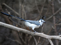 White throated magpie jay Stock Photography