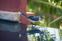 White-throated magpie-jay Stock Photos