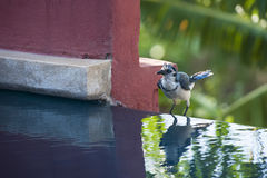 White throated magpie jay Stock Images