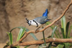 White-throated magpie-jay Stock Photography