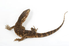 White-throated Monitor Lizard Stock Photography