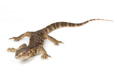 White-throated Monitor Lizard Royalty Free Stock Photos